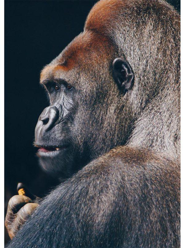 Portrait de Gorille