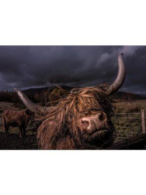 Yack sous l'orage