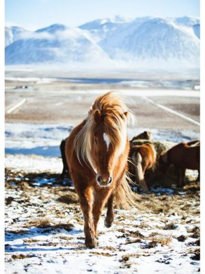 Cheval sibérien