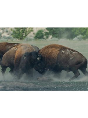 Combat de bisons