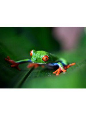Grenouille aux yeux rouge du Costa Rica